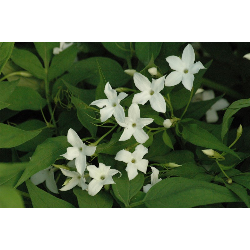 jasmijn plant