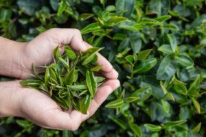 Camellia sinensis Teelt