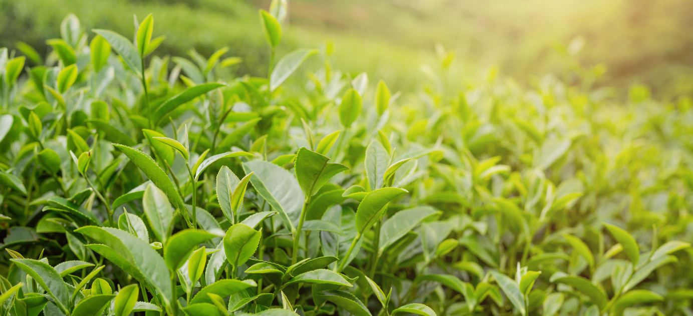 Camellia sinensis theeplant